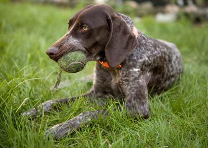 German-shorthaired-pointer-9