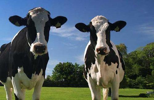Two_cows1-e1285712144554